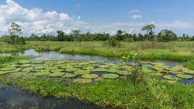 Lillys dans la forêt tropicale d'Amazone Image stock