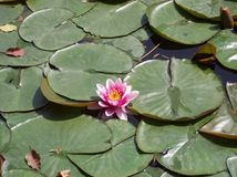 Lillystootkussens en roze bloem Royalty-vrije Stock Foto