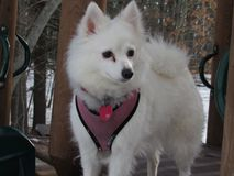 Lilo loves playgrounds. Pet American Eskimo enjoying the winter view from a playground Royalty Free Stock Photo
