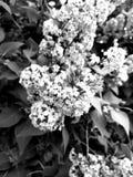 lilor Arkivbilder