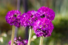 Lilor blommar det utomhus- skottet, suddig backround, vår Arkivfoto