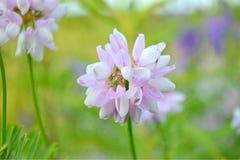 lilor blommar, växt av släktet Trifolium, trefoil, treklöver Arkivfoton