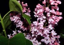 Lilor efter en vårregndusch Royaltyfri Foto