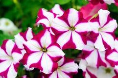 Lilor för petuniaCascadias Bicolor Cabernet vit arkivbild