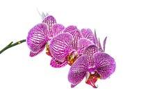 Lilor gjorde randig orkidén som isolerades på viten Royaltyfri Fotografi