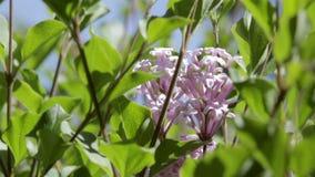 Lilor i blom arkivfilmer