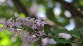Lilor i blom lager videofilmer