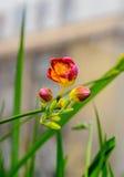 Lilor med gul freesia blommar, fönsterbakgrund, grön växt Royaltyfria Foton