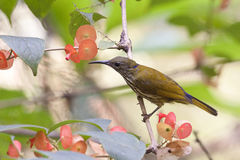 Lilor-naped Sunbird. Royaltyfri Fotografi