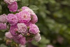 Lilor och den rosa rosen, romantiker steg royaltyfri foto