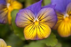 Lilor och guling Pansy Flowers In Spring Royaltyfri Fotografi