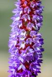 Lilor och röd blomma - primula - Vialii - primula för glödhet poker arkivfoto