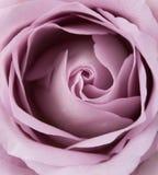 Lilor skott för makro för malvafärgad sommar för färg ny rosa, naturlig abstra arkivbilder