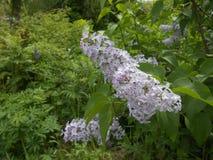 Lilos okwitnięcie w ogródzie obrazy royalty free