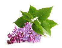 Lilás do roxo do galho da flor da mola Fotos de Stock