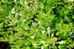 Lilás do verão, borboleta-Bush, ou olho alaranjado Imagens de Stock