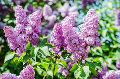 Lilás na flor Fotos de Stock Royalty Free
