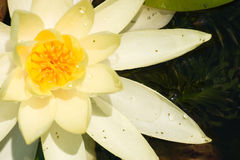 lily żółty zdjęcie royalty free