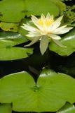 lily żółty zdjęcia royalty free