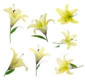 lily żółty Fotografia Stock