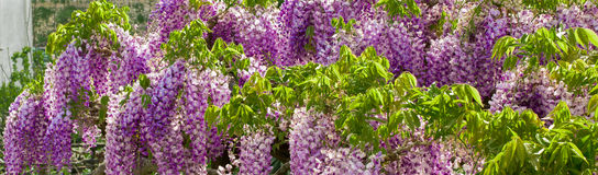 Lily żałość kwiatów wzór, tekstura, tło Zdjęcie Royalty Free