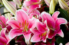 lily, Obraz Royalty Free