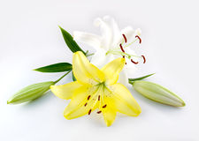 Lily. White and yellow lily isolated on white Stock Photos