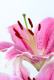 Lily. A pink lilys is abloom Stock Photos