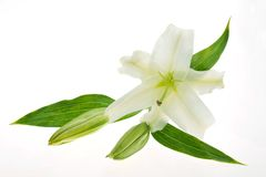 Lily. White lily isolated on white background Royalty Free Stock Images