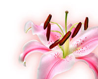Lily. Beautiful lily on white background Royalty Free Stock Photos