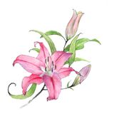 Lily. Blooming lily on a white background Royalty Free Stock Photo