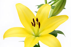 Lily. Isolated on white background Stock Photography