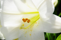Lily. Closeup of an open white lily flower Royalty Free Stock Image