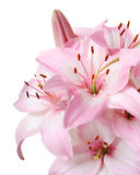 Lily. Bouquet of fresh pink lilies isolated on white Royalty Free Stock Image