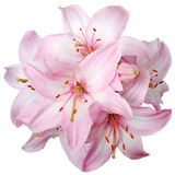 Lily. Bouquet of fresh pink lilies isolated on white Stock Photo