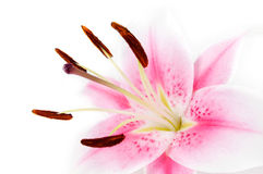 Lily. Pink and white lily on a white background royalty free stock photos