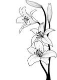 Lily. Illustration of lily in black and white colors