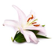 Lily Royalty Free Stock Photography
