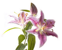 Free Lily Royalty Free Stock Images - 21053889