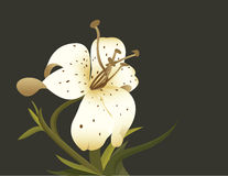Lily. Flower picture vector graphics vector illustration