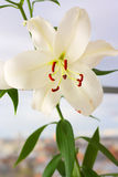 Lily Royalty Free Stock Photo