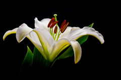 Lily. White Lily on a Black Background stock photos