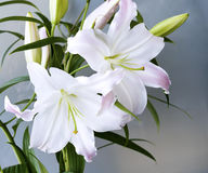 A Lily Royalty Free Stock Photography