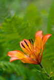 Lily. Orange lily over green nature background Royalty Free Stock Photography