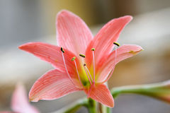 Lily. Close up of a colorful lily,Selective focus macro Royalty Free Stock Photos