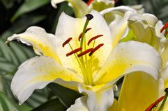 Lily Stock Photography