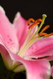Lily. Pastel pink lily against dark background Royalty Free Stock Photo