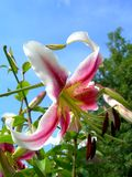 Lily. Nice pink lily in the spring garden against the blue sky royalty free stock photo