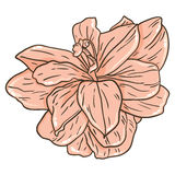 Lily. Vector illustration of cute lily stock illustration