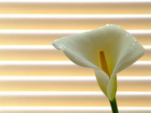 Lily. High-key image of an arum/calla lily (Zantedeschia) against venetian blinds Stock Photography